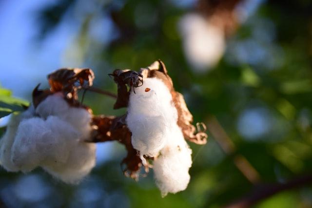 天然繊維 綿